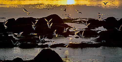 ocean sunset birds animals golden iceland wildlife midnightsun sternaparadisaea sternidae sternulaalbifrons img2529 canoneos5dmarkii icelandphotos canon70200f28lll canonef70200mm128lisiiusm sigmundurandresson trerns