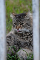 animal, maine coon, small to medium-sized cats, pet, mammal, lynx, fauna, cat, wild cat, whiskers, norwegian forest cat, bobcat,