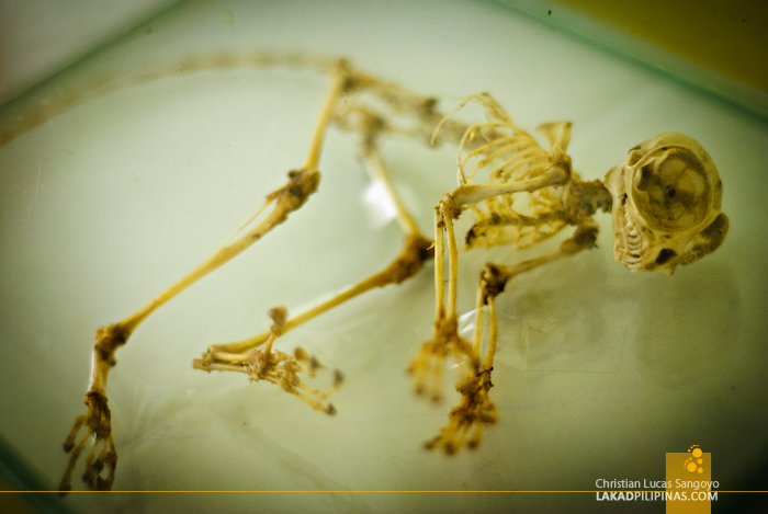 A Tarsier Skeleton at the Philippine Tarsier & Wildlife Sanctuary in Bohol