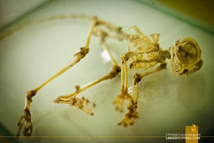 A Tarsier Skeleton at the Philippine Tarsier & Wildlife Sanctuary in Bohol