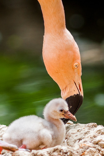 Flamingo and her chick