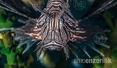 Lionfish floating in front of a tubastrea