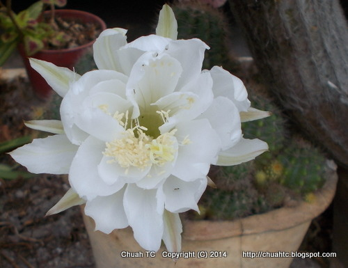 A tinkerers blog a white cactus flower white cactus flower taken at about 10am mightylinksfo