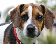 hound(0.0), puppy(0.0), dog breed(1.0), animal(1.0), harrier(1.0), dog(1.0), treeing walker coonhound(1.0), english foxhound(1.0), american foxhound(1.0), pet(1.0), pocket beagle(1.0), estonian hound(1.0), carnivoran(1.0), beagle(1.0),
