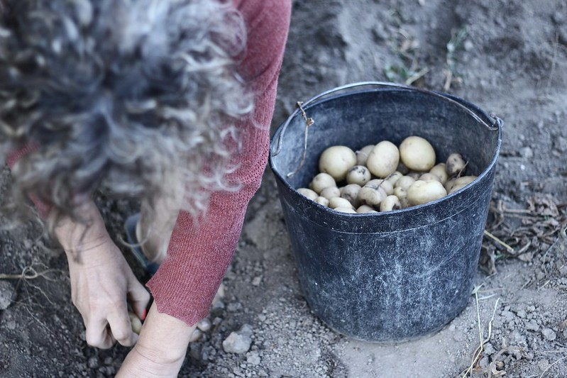 picking potato for winter