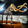 #Mammoth #Zed tusks the size of tree trunks!