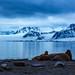 Walrus @ Amsterdamøya, Arctic