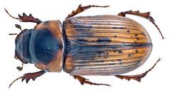 Alocoderus hydrochaeris (Fabricius, 1789) Syn.: Aphodius (Alocoderus) hydrochaeris (Fabricius, 1798)