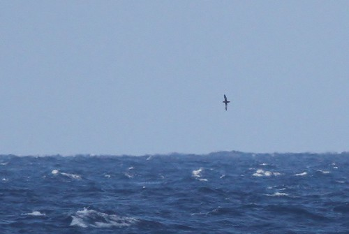 Sooty Shearwater--Offshore Maryland