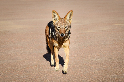 Black-backed jackal in Sossusvlei, Namibia