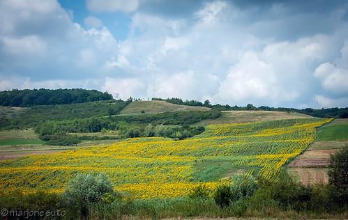 landscape sunflowers romania transylvania