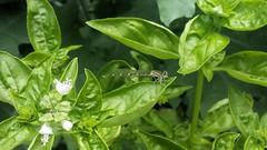 vegetable(0.0), malabar spinach(0.0), bird's eye chili(0.0), produce(0.0), food(0.0), flower(1.0), leaf(1.0), plant(1.0), herb(1.0), basil(1.0),
