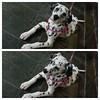 Minha vizinha Sarabi.   #dalmatians #dálmatas #dogs #pets