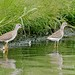 rb_stern has added a photo to the pool:Lesser Yellowlegs and Stilt Sandpiper, Windsor