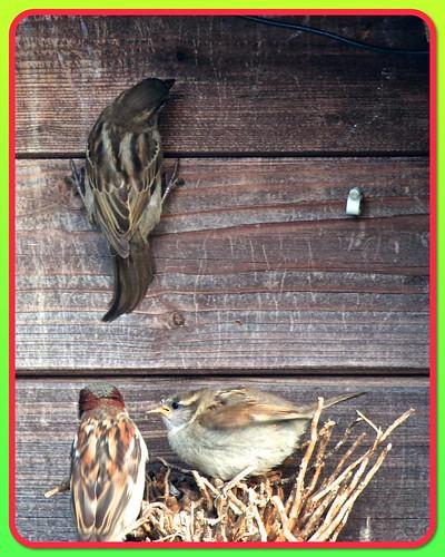 Sparrow Family 01