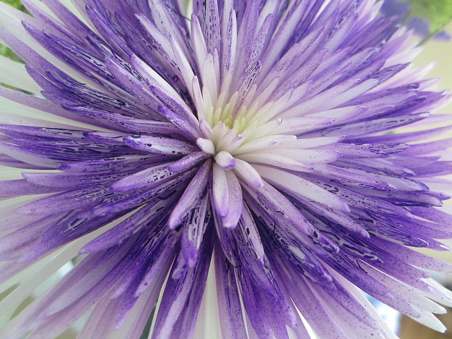 purple and white mum