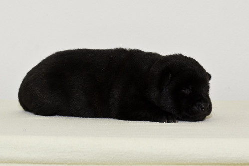 Nori-Litter2-10Days-Puppy3(female)d