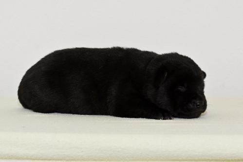 Nori-Litter2-10Days-Puppy3(female)d