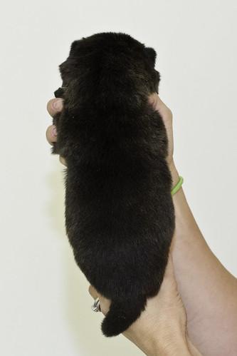 Nori-Litter2-10Days-Puppy4(male)b