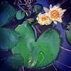 Teratai di kolam belakang Rumah alhamdulillah mulai pada mekar bunganya.
