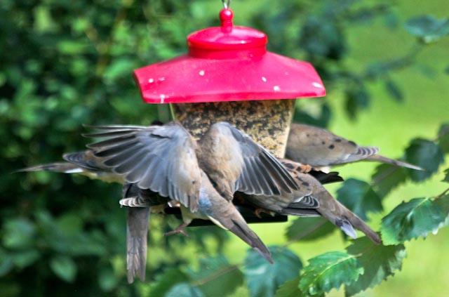 4 on feeder+2