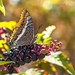 Charaxes Jasius... by Canconio59