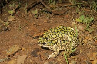Anaxyrus retiformis (Sonoran Green Toad)