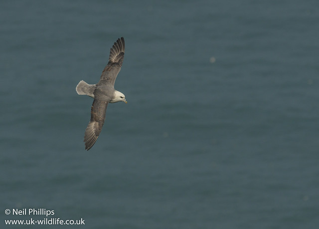 fulmar in flight-3