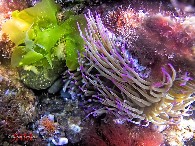 Anémona de mar (Anemonia sulcata)