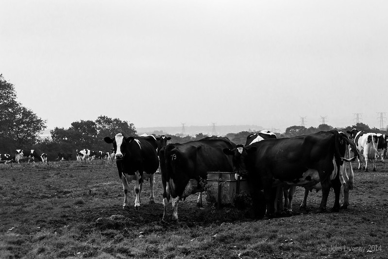 The cows are breakfasting again