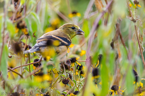 summer flower bird philadelphia nature nikon pennsylvania wildlife seeds heinz americangoldfinch thicket tinicum johnheinznwr johnheinzwildlifepreserve