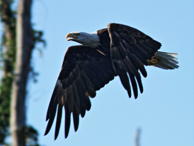 Bald Eagle male 5-20140901
