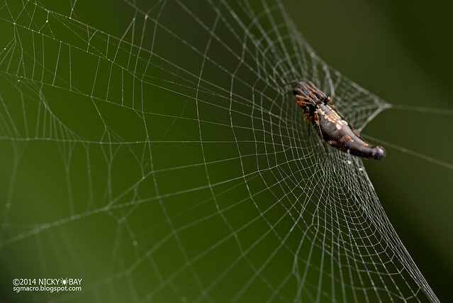 Orb Web Spider (Cyclosa sp.) - DSC_3227