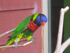 animal, parrot, pet, fauna, parakeet, lorikeet, common pet parakeet, beak, bird,