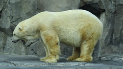animal(1.0), polar bear(1.0), polar bear(1.0), mammal(1.0), fauna(1.0), bear(1.0), wildlife(1.0),