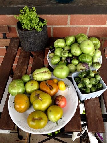 Last tomato harvest