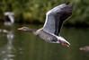 Goose 20092014-02