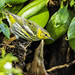 Cape May warbler (X6A_0969-1) by EricLuSF