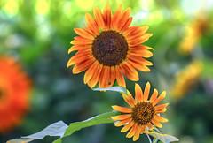✺ Sunflower Morning