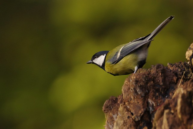 IMGP7155 Great Tit, Lackford Lakes, November 2016