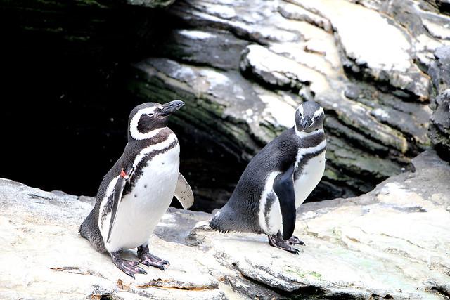 I pinguini di Lisbona