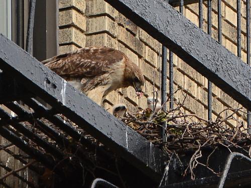 JHW Hawk Nest (8981)
