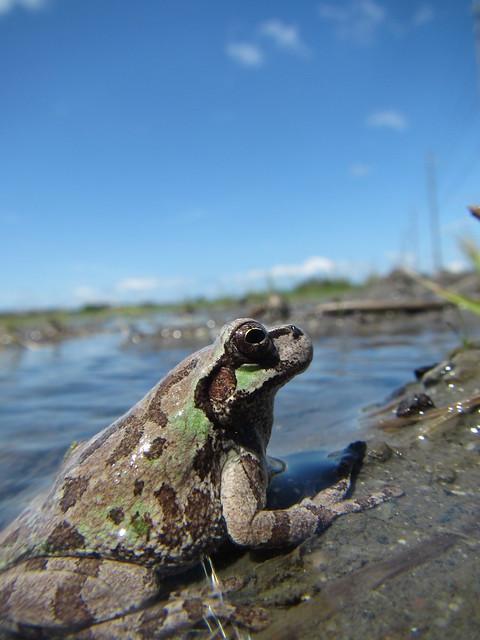 Contemplative frog