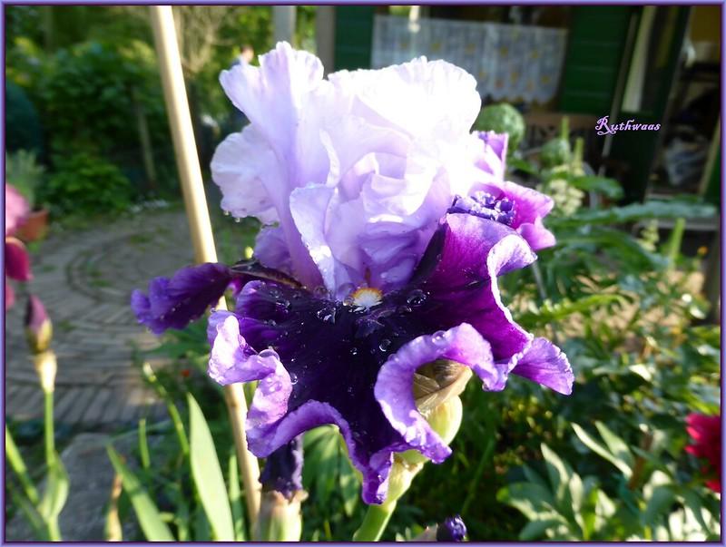 P1010268-2 Iris