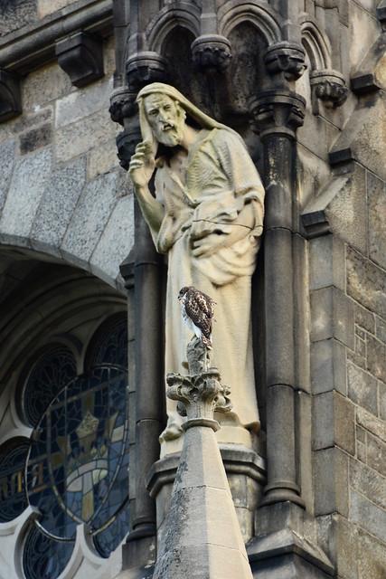 Cathedral Hawk Fledgling (2465)