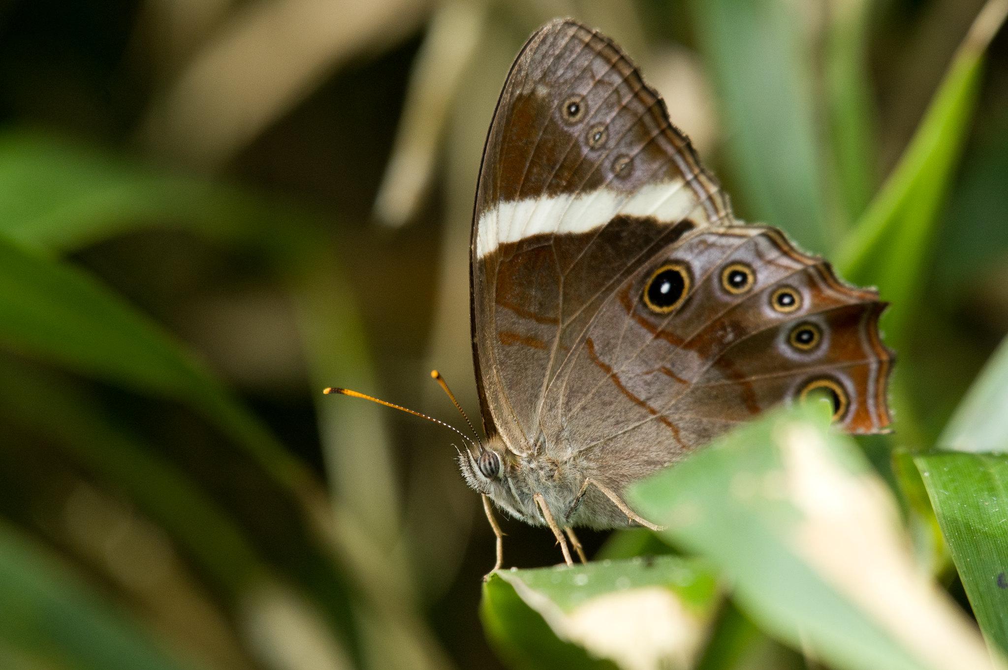 深山玉帶蔭蝶