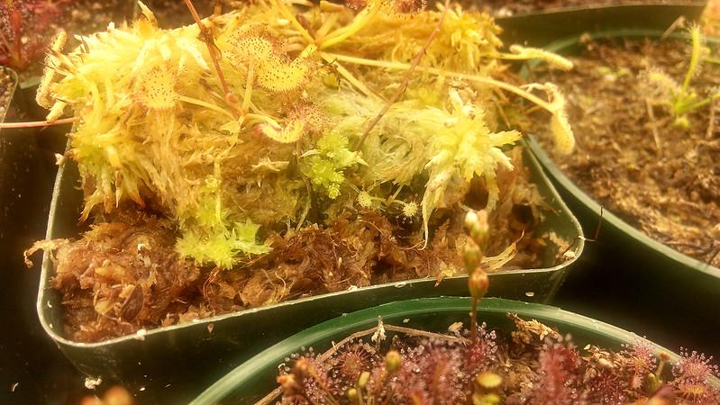 Drosera prolifera plantlet.