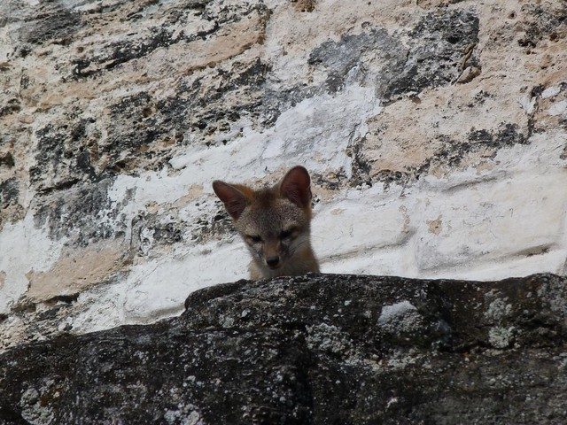 Zorro en el Templo II de Tikal (Guatemala)