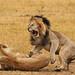 Lions fighting after making love@Masai Mara by katreenatravels