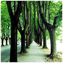 Something about these trees. #italy #tuscany #lucca